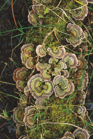 Turkey-tail fungus at Abbeyleix Bog.