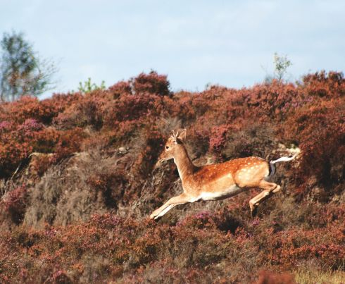 Young stag in flight at Kilaun Bog.