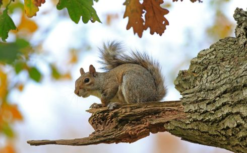 STOCKING UP: A young squirrel among the autumn leaves on a great oak in Wicklow. Photograph: Nick Bradshaw
