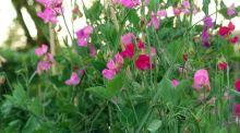 Sweet-pea is a fast-growing annual climber that is ideal for training against a sunny wall or garden fence. Photograph: Richard Johnston