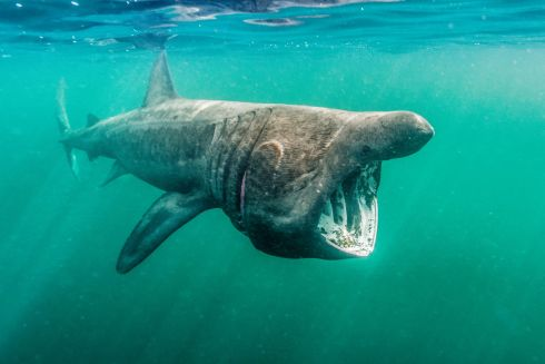 Winner - Underwater category: Alan Cranston, Basking Shark Feeding, Culldaff, Co Donegal