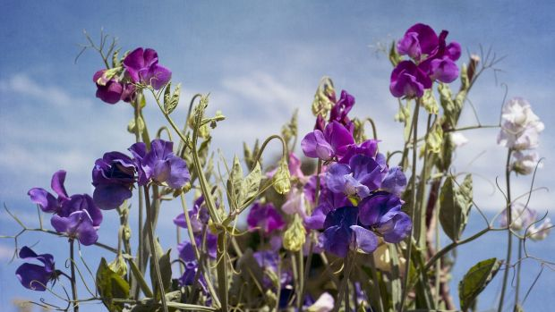 Terminal tendrills and pink & purple Sweet Pea flowers (Lathyrus Odoratus)reach up to the sunshine. Photo: Getty