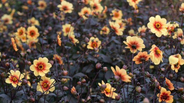 Single-flowering, pollinator-friendly Dahlia 'Moonfire' flowering en masse in Ashtown Walled garden in the Phoenix park Photo credit Richard Johnston