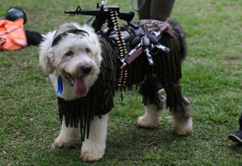 A dog dressed in a costume takes part in a pets' Halloween parade in Lima, Peru. Photograph: Guadalupe Pardo/Reuters