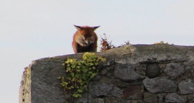 A fox atop of Corr Castle, an old keep attached to the Howth Castle Demesne.
