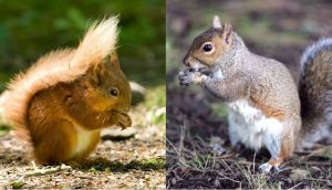 The red and the grey squirrel: autumn is ideal for spotting them scurrying about
