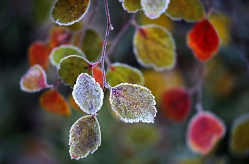 Hoarfrost covers the leaves of the bush in Moscow, Russia.  Photograph: Yuri Kochetkov/EPA