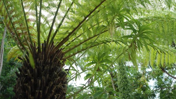 A tree fern's fronds create a leafy, evergreen canopy in a Dublin garden. Photograph: Richard Johnston