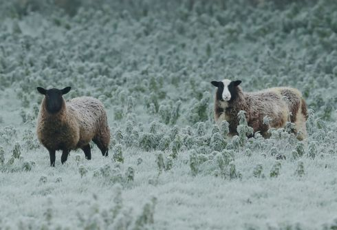 Sheep in a frost covered field in Edenderry, Co Offaly. Photograph: Niall Carson/PA