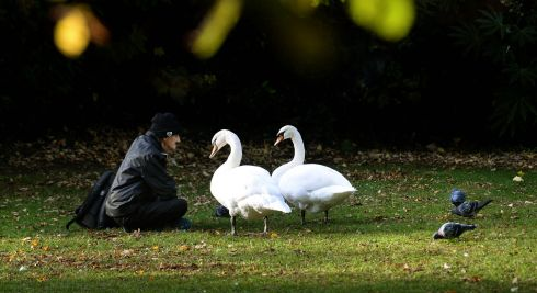 Charlie Thompson, from Cabra, with two swans in St Stephens Green, Dublin. Photograph: Dara Mac Donaill