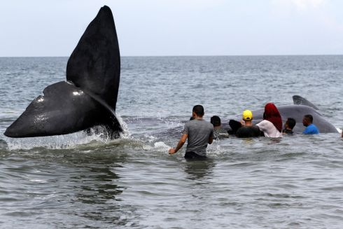 STRANDED WHALE: Government officers and environmental activists try to push back a stranded sperm whale to the open sea at a beach in Banda Aceh, Indonesia. Photograph: Hotli Simanjuntak/EPA