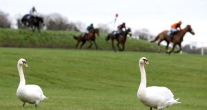 Swans on the racecourse as runners and riders clear Ruby's Double during the Donohue Marquees Risk Of Thunder Steeplechase during day two of the Winter Festival at Punchestown Racecourse. Photograph: Brian Lawless/PA