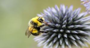 The European Food Safety Authority is reviewing the use of neonicotinoid pesticides and their potential impacts on pollinators such as bees. Photograph: Getty Images