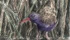 Water rail illustration by Michael Viney