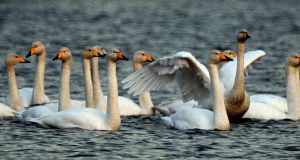 Whooper swans wintering on the Vartry Lakes in Roundwood, Co Wicklow. Photograph: Cyril Byrne/The Irish Times