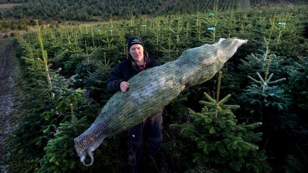 Christy Kavanagh with a Nordmann Fir in a net at Kavanaghs Christmas Tree farm in Newtownmountkennedy, Co Wicklow. Photograph: Cyril Byrne /