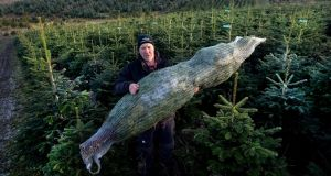 Christy Kavanagh with a Nordmann Fir in a net at  Kavanaghs Christmas Tree farm in Newtownmountkennedy, Co Wicklow. Photograph: Cyril Byrne