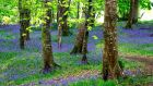 Bluebells: Bluebells blossom in Killarney, Co Kerry. Photograph: Nick Bradshaw