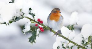 """The hazards of the season also include inebriated birds, flying into buildings or falling out of trees because they've had one too many."" Photograph: Andrew Howe/iStock"