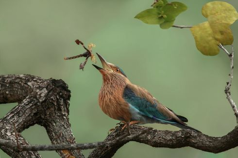 Toss the scorpion - Indian roller playing with the kill by Susmita Datta which was given an Honorable mention in the Behaviour category for the 2017 Royal Society Publishing Photography Competition.   The image was taken during  an early morning safari drive at Tadoba Andhari Tiger Reserve, India.