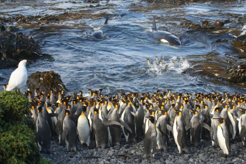 Waiting in the shallows by Nico de Bruyn which was named as the winner in the Ecology and Environmental Science category. Killer whales suddenly enter a small bay at Subantarctic Marion Island, surprising a small huddle of King Penguins busy preening themselves in the water.