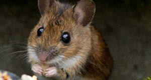 HSE environmental health officers issued three closure orders after rodent infestations were found. Photograph: Getty