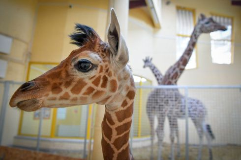 AWWW: A two-week old reticulated giraffe baby stands in its enclosure as it is shown to the public for the first time in the zoo of Debrecen, 221km east of Budapest, Hungary. Photograph: Zsolt Czegledi/EPA