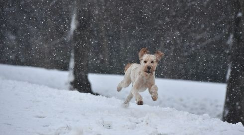 BELFAST, NORTHERN IRELAND - DECEMBER 08: Ella, an Irish Doodle, a cross between an Irish red setter and a poodle, plays in the snow at Stormont on December 8, 2017 in Belfast, Northern Ireland. The MET Office has issued a weather warning across the UK for heavy snow with northern and western parts bearing the brunt of the cold snap. (Photo by Charles McQuillan/Getty Images) ***BESTPIX***