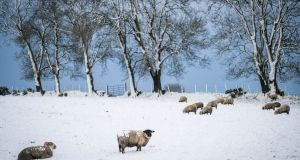 Sheep in a snow-covered field in Balla, Co Mayo. Photograph: Keith Heneghan
