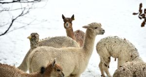 Alpacas enjoy the snow in Co Wicklow. Photograph: Maura Hickey
