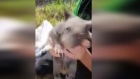 Baby wombat saved from dead mother's pouch in Australia