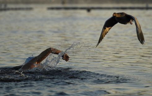 I'll RACE YA: A goose flies past a swimmer in the Serpentine Lake in Hyde Park, London. Photograph: Clodagh Kilcoyne/Reuters