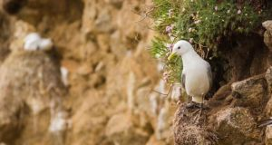 The black-legged Kittiwake in classical pose, perched on a coastal cliff face.