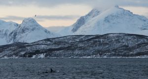 A pod of killer whales swimming in a fjord in Skjervoy, Norway. Photograph: Stephen Starr