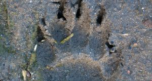 The  footprint of a badger's forepaw in mud. Photograph:  Arterra/UIG via Getty Images