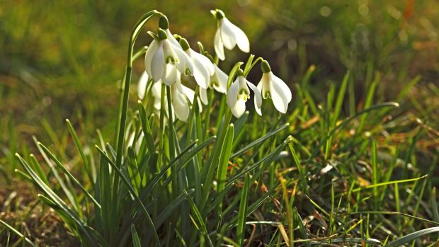 Nature Diary Snowdrops For Spring