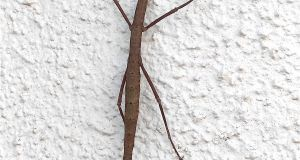 The unarmed stick insect Acanthoxyla inermis
