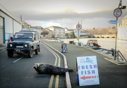 Sammy the Seal who is a regular atraction in Wicklow town, forgot it was New Year's day and the Fishmonger was closed as he made his way across the road at South Quay, Wicklow.  Photograph: Garry O'Neill
