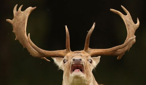 A braying deer in Dublins Phoenix park as the rutting seasons begins.  Photograph: Niall Carson / PA
