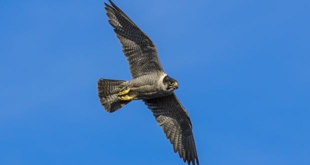 e707cbc7 Flying high: Peregrine falcons return to Irish skies