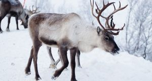 Reindeer have been herded by the Sami people for over a 1,000 years. Photograph: Getty