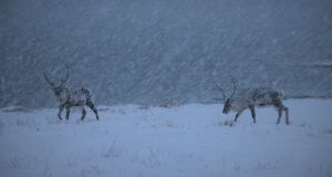 Two reindeer in a snow storm in Tisnes, Troms county, Norway. Photograph: Stephen Starr