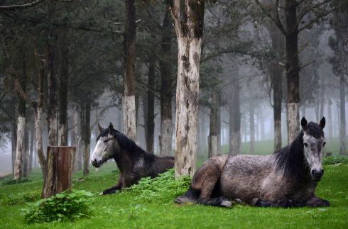 Horses in a forest near the ruins of the Greek and Roman city in Shahhat, Libya. Photograph: Reuters
