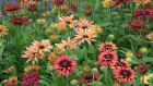 Rudbeckia 'Sahara', one of the must-have plants to grow from seed this spring. Photograph: Richard Johnston