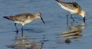 The curlew, with its large size and long curved bill, can be seen in  locations like North Bull Island in Dublin and Cork Harbour