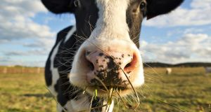 Dairy exports now account for one third of all Irish food and drink exports. Photograph: Getty Images