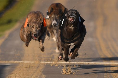 TOP DOG: A race at the Coral Brighton and Hove Greyhound Stadium, in Brighton, England. Photograph: Mike Hewitt/Getty Images