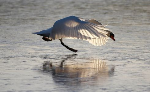 SWAN LAKE: A swan tries to deal with the frozen surface on Lavey Lough, Co Cavan. Photograph: Nick Bradshaw
