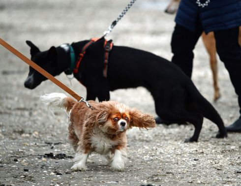 TAKE THE LEAD: Dogs walk along Sandymount Strand in Dublin. Photograph: Cyril Byrne/The Irish Times