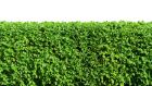 If it is a party hedge your neighbour should not remove the boundary feature. Photograph: iStock